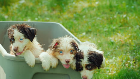 Puppies-After-Taking-A-Bath-Cute-Wet-Pets-Peep-Out-Of-The-Basket