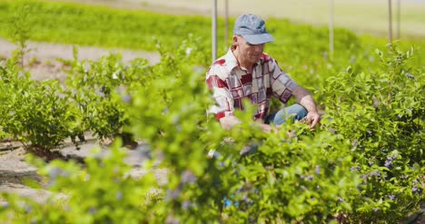 Confident-Male-Farm-Researcher-Examining-And-Tasting-Blueberry-On-Field-1