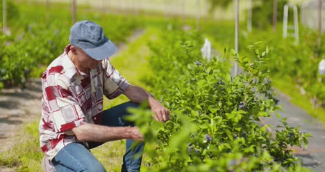 Confident-Male-Farm-Researcher-Examining-And-Tasting-Blueberry-On-Field-12