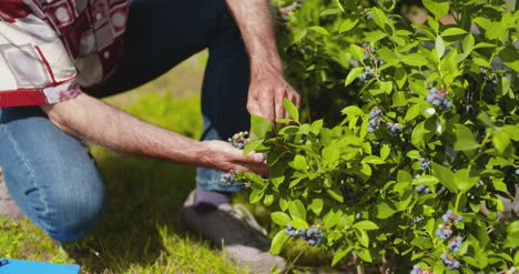 Confident-Male-Farm-Researcher-Examining-And-Tasting-Blueberry-On-Field-14