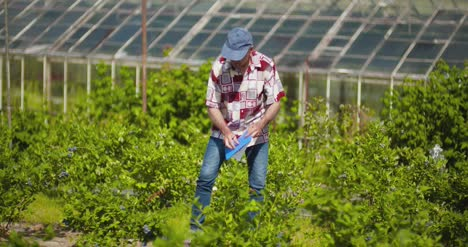 Confident-Male-Farm-Researcher-Examining-And-Tasting-Blueberry-On-Field-2