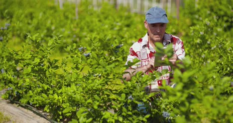 Confident-Male-Farm-Researcher-Examining-And-Tasting-Blueberry-On-Field-10