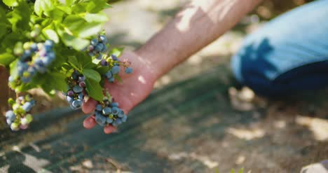 Confident-Male-Farm-Researcher-Tasting-Blueberry-On-Field