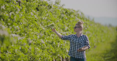 Agronomist-Or-Farmer-Examining-Blossom-Branch-In-Orchard-8