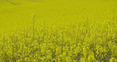Close-Up-View-Of-Yellow-Colza-Field-And-Canola-Rape-Field-