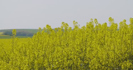 Close-Up-View-Of-Yellow-Colza-Field-And-Canola-Rape-Field-1