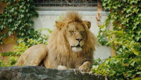 Big-And-Beautiful-Lion-Resting-On-The-Stones-Among-The-Thickets