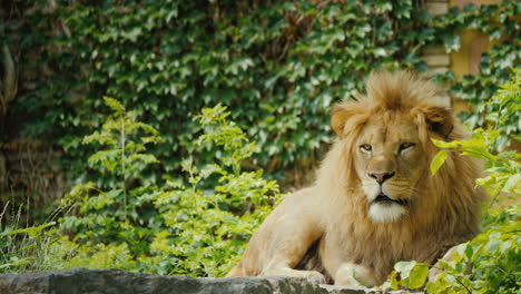 The-Mighty-Lion-Is-Carefully-Watching-Its-Territory-Looking-Forward