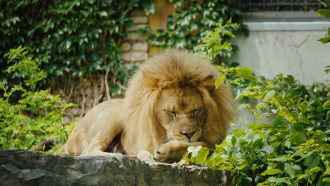 The-King-Of-Beasts-The-Lion-Carefully-Washes-His-Paw
