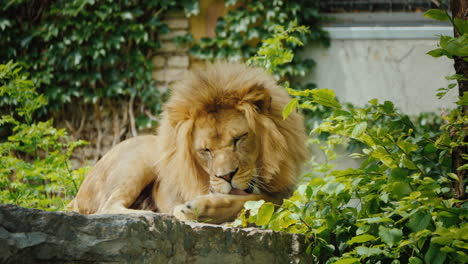 A-Large-Male-Lion-Is-Thoroughly-Washing-His-Paw-Licking-Her-Tongue-Amazing-Wildlife