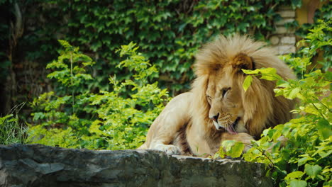 The-Mighty-Lion-Relaxes-In-The-Shade-Licks-His-Paw