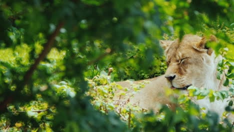 Lioness-Resting-In-The-Thicket-Of-The-Jungle