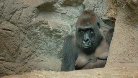 Big-Gorilla-Sits-Among-The-Stones
