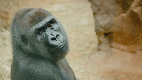 Portrait-Of-A-Gorilla-Looking-Around