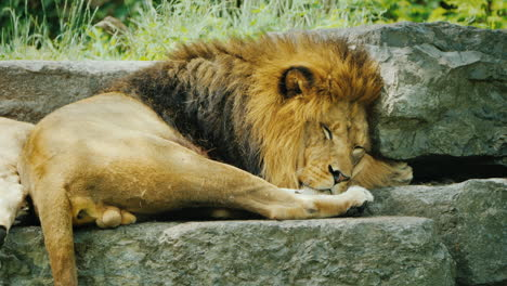 Lion-With-A-Beautiful-Mane-Resting-On-The-Stones