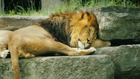 A-Huge-Male-Lion-Sleeps-On-The-Stones