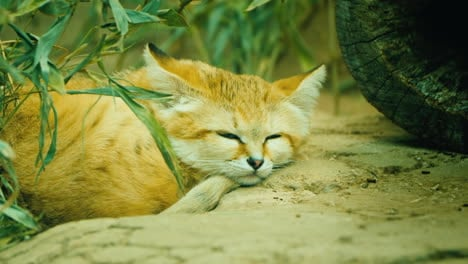 Close-Up-Of-Sand-Cat---Felis-Margarita