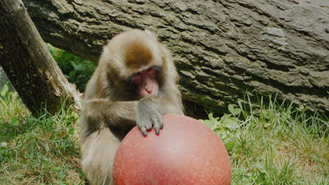 Funny-Japanese-Macaque-Plays-With-A-Red-Ball