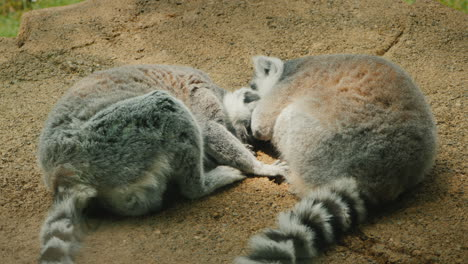 A-Pair-Of-Cute-Lemurs-Sweetly-Sleeping-Next-To-Each-Other