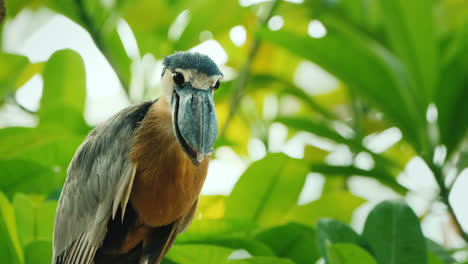 Boat-Billed-Heron-Sitting-In-The-Branches-Of-A-Tree