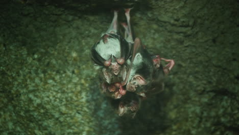 Several-Vampire-Mice-Hang-Upside-Down-On-A-Cave-Ceiling