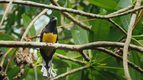 The-Black-Headed-Trogon-(Trogon-Melanocephalus)-Is-A-Species-Of-Bird-In-The-Family-Trogonidae