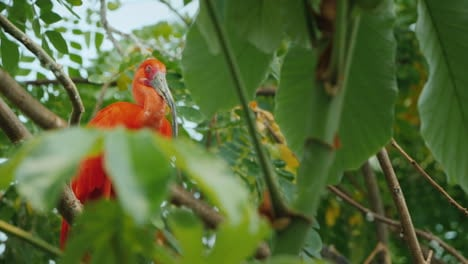 Bird-Sleepy-Scarlet-Irbis-Sitting-In-The-Branches-Of-A-Tree
