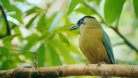 Blue-Crowned-Motmot-Wild-Nature-With-Animal-In-The-Nature-Forest