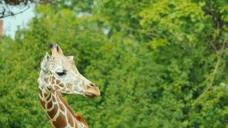 Cute-Giraffe-On-A-Background-Of-Green-Trees