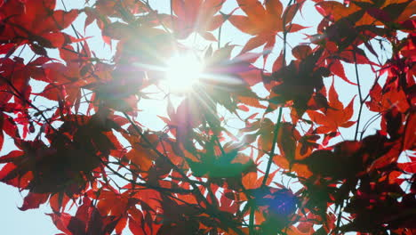 The-Sun-Shines-Through-The-Leaves-Of-American-Red-Maple