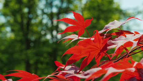 Red-Maple-Leaves-Sway-In-The-Wind