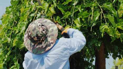 A-Mexican-Gardener-Quickly-And-Skillfully-Cuts-Tree-Branches-Professional-Garden-Care