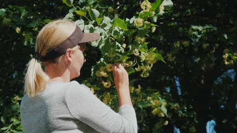 Woman-Picks-Linden-Flowers-From-A-Tree-Collection-Of-Medicinal-Plants