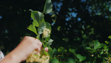 Female-Hands-Pick-Linden-Flowers-For-Healthy-Healing-Tea