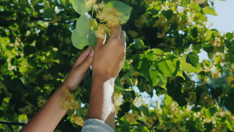 Herbalist-Hands-Pick-Pluck-Linden-Flowers-To-Make-Healthy-Healing-Tea-Close-Up-Shot