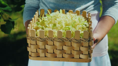 The-Farmer-Holds-A-Basket-With-The-Collection-Of-Linden-Medicinal-Plants-And-Herbs