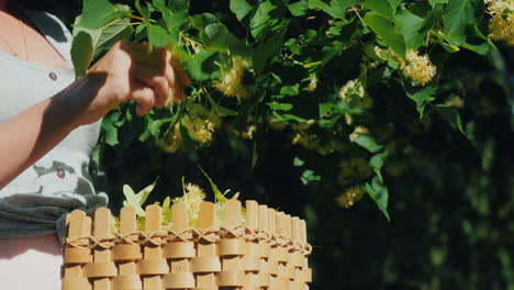 A-Man-Picks-Linden-Flowers-Puts-In-A-Basket-Collection-Of-Useful-And-Healing-Plants-Close-Up-Shot