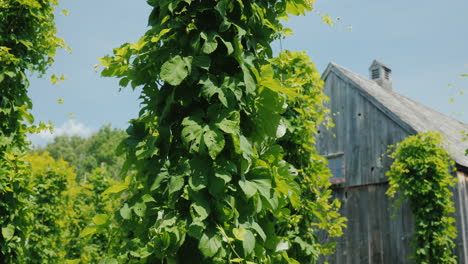 Ancient-Wooden-Building-In-The-Foreground-Hops-Plants-Brewing-Concept