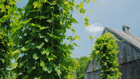 A-Brewery-With-Its-Own-Hops-Farm-Hop-Plants-Wind-Around-Pillars