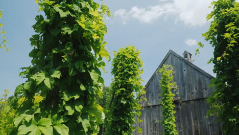 Hop-Farm-Grows-Around-Special-Posts---Brewing-Raw-Materials