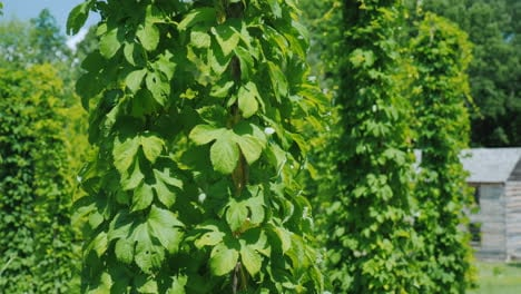 Hop-Farm---Brewing-Raw-Materials-Green-Hops-Plants-Creep-Along-The-Pillars