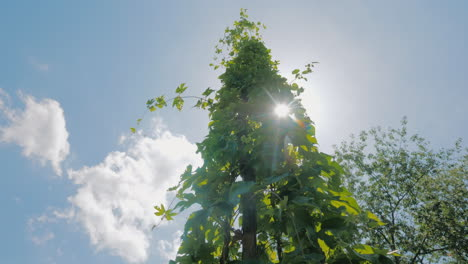 The-Sun-Shines-Through-The-Leaves-Of-Hops-On-A-Farm-Where-Brewing-Hops-Are-Grown