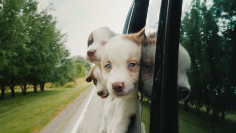 Three-Funny-Puppies-Peek-Out-The-Car-Window-Traveling-Dogs