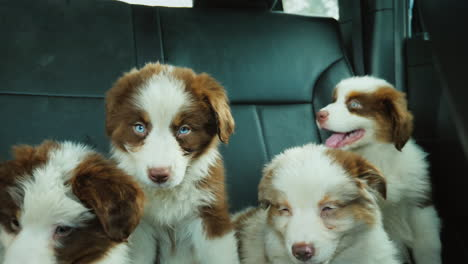 A-Tiring-Pet-Trip-Several-Puppies-Travel-In-The-Backseat-Of-A-Car