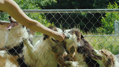 Woman-Gives-Tasty-Pieces-Of-Food-To-Dogs-Behind-An-Aviary-Net