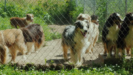 Active-Dogs-Of-The-Breed-Australian-Shepherd-In-The-Aviary