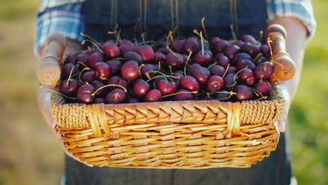 Gifts-Of-Summer---A-Basket-With-Cherries-In-The-Hands-Of-A-Farmer