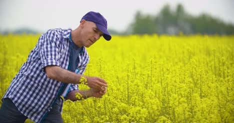 Farmer-Examining-And-Smelling-Rapeseed-Blossom-At-Field