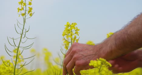 Farmer-Examining-And-Smelling-Rapeseed-Blossom-At-Field-1