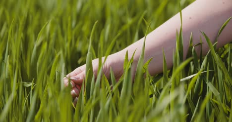 Agriculture-Woman-Hand-Touching-Wheat-Crops-At-Farm-2